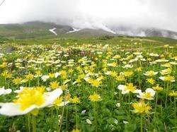 大雪山の裾合平のチングルマ(写真あり)