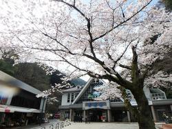 雨と桜の高尾山を登りました。雨の日は人が少なくて混雑を避けたい方にはおすすめ