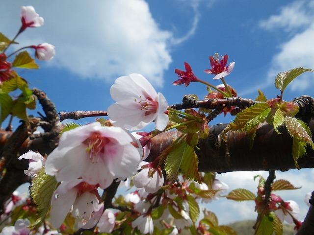 日光白根山 桜